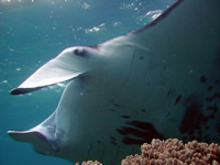 Amazing Underwater Photos Jean-FrancoisSAUVAGEManta2_small