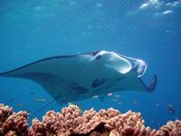 Amazing Underwater Photos Jean-FrancoisSAUVAGEManta3_small