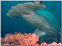Amazing Underwater Photos AHammerhead_1_small