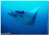 Amazing Underwater Photos AMobula_small