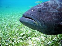 Amazing Underwater Photos Zblack_grouper_small